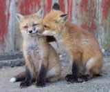 fox cub 62