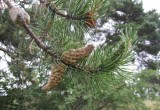 Banksianatall (Pinus banksiana)