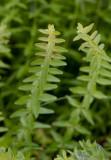 Kal korsmåra (Cruciata glabra)