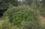 Norrlandssyren (Syringa × henryi)
