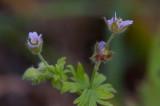 Sparvnäva (Geranium pusillum)
