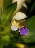 Hampdån (Galeopsis speciosa)