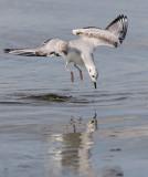 Bonaparte´s Gull (Chroicocephalus philadelphia)