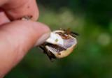 Gulspindling (Cortinarius delibutus)