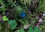 Grönskål (Chlorociboria aeruginascens)