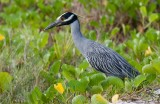 Yellow-crowned-Night Heron (Nyctanassa violacea)