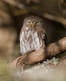 Eurasian Pygmy-Owl (Glaucidium passerinum)