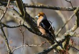 Hawfinch (Loxia pytyopsittacus)