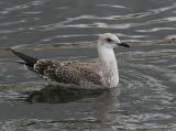 Lesser Black-backed Gull (Larus fuscus), 1K