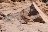 Sand Partridge (Ammoperdix heyi)female