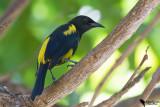 Icteridae - Oropendolas, Orioles & Blackbirds