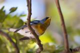 Parulidae - New World Warblers