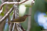 Vireonidae-Vireos_Greenlets