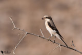 Steppe Grey Shrike (Lanius pallidirostris)