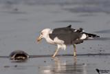 Heuglin's Gull(Larus fuscus heuglini)
