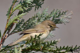 Phylloscopidae - Leaf warblers and allies