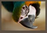 Croky my Macaw