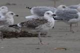 Great Black-backed Gull Bk[JW816]