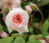 The sweetheart rose
