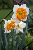 Unusual split corona daffodil