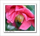 Camellia - Guillio Nuccio