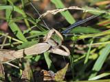 Praying Mantis Feeding on Dragonfly