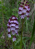 Orhis purpurea, Ginestra Fiorentina