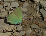Callophrys rubi, Arezzo