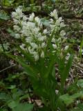 Cephalanthera longifolia, Arnovecchio - Empoli