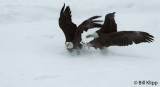 Bald Eagles fighting over a fish  2