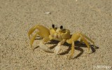 Ghost Crab, Green Cay  1