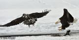 Adult Bald Eagle chasing off a Juvenile  1