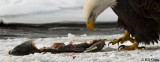 Bald Eagle Feeding on Salmon   3