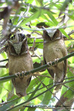 468 - White-fronted Scops-Owl