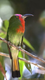 385 ::Red-beared Bee-eater::