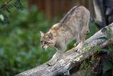 Wildcat (vildkatt)