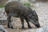 Wild boar piglet (vildsvinskulting)