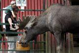 Elk or Moose (Älg)