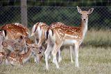 Fallow Deer (Dovhjort)