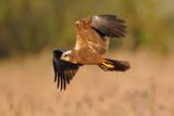 marsh harrier - bruine kiekendief - busard des roseaux
