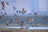 geese - ganzen - oies