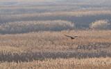 buzzard - buizerd - buse variable