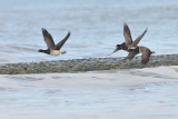 light-bellied brent goose - witbuik rotgans
