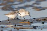 sanderling - drieteenstrandloper - bécasseau sanderling
