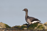brent goose - rotgans - bernache cravant