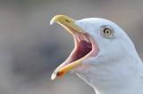 herring gull - zilvermeeuw - goéland argenté