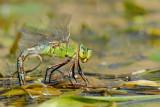 dragonfly - libel - libellule