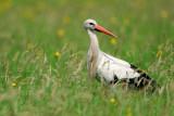 white stork - ooievaar - cigogne blanche