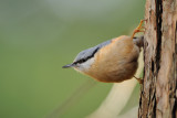 nuthatch - boomklever - sitelle torchepot