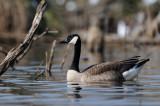 canadian goose - canadese gans - bernache du canada